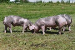 Jonge duroc varkens op de weide bij dierlijke landbouwbedrijfzomer stock fotografie