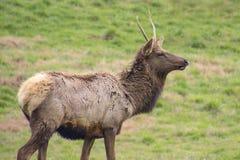 Jonge Eenzame Elandenbok royalty-vrije stock afbeelding