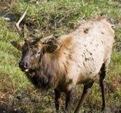 Jonge elanden Royalty-vrije Stock Afbeeldingen