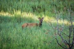 Jonge Elanden in de Bomen en de Grassen van Colorado Stock Afbeelding