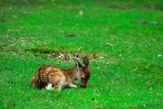 Jonge en herten die leggen eten Stock Foto's