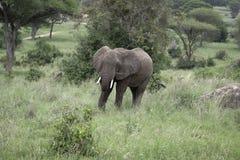 Jonge en Mae Elephant die eten lopen Stock Foto