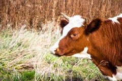 Jonge en mooie koe in weiland De koeien leven op een landbouwbedrijf royalty-vrije stock fotografie