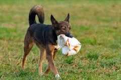 Jonge energieke helft-ras hond Harmonische verhouding met de hond: opleiding en onderwijs royalty-vrije stock foto's