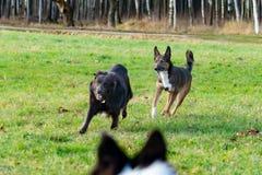 Jonge energieke helft-ras hond Harmonische verhouding met de hond: opleiding en onderwijs Hondenspel met elkaar royalty-vrije stock fotografie
