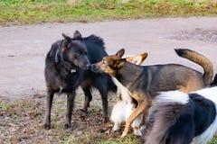 Jonge energieke helft-ras hond Harmonische verhouding met de hond: opleiding en onderwijs Hondenspel met elkaar royalty-vrije stock foto