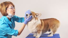 Jonge ervaren vrouwelijke dierenarts die een rassenhond in de kliniek onderzoeken stock videobeelden