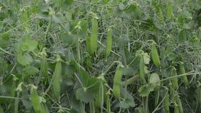 Jonge erwten die in de tuin, natuurlijke groenten groeien stock footage