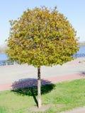 Jonge esdoornboom Stock Afbeelding