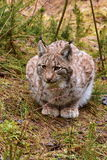 Jonge Europees-Aziatische lynx Stock Fotografie