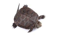Jonge Europese die vijverschildpad op wit wordt geïsoleerd Royalty-vrije Stock Afbeelding