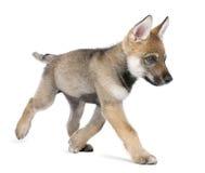 Jonge Europese wolf die - Canis wolfszweerwolfszweer loopt stock foto
