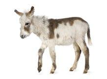 Jonge ezel stock foto's