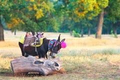 Jonge ezel voor berijdende toeristen bulgarije royalty-vrije stock afbeelding