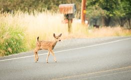 Jonge Fawn Crossing een Weg royalty-vrije stock fotografie