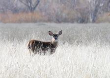 Jonge fawn die zich waakzaam op een droogte uitgedroogd gebied bevinden Royalty-vrije Stock Foto's