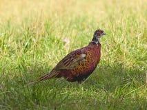 Jonge fazant Royalty-vrije Stock Foto