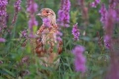 Jonge fazant Stock Foto's