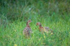 Jonge fazanten Royalty-vrije Stock Foto