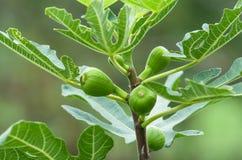 Jonge fig. op de tak van een vijgeboom op de tak van een vijgeboom Groene verse fig. stock foto's