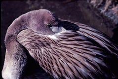 Jonge Flamingo's onbeweeglijk Royalty-vrije Stock Foto's