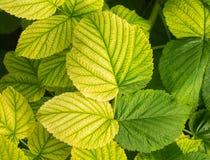 Jonge frambozenbladeren met verschillende schaduw van groen Royalty-vrije Stock Afbeelding