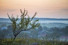 Jonge fruitboom met groene bladeren alleen op grasrijke bloeiende heuvel op heldere roze hemel bij vage dageraad of avond en blau stock afbeeldingen