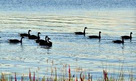 Jonge ganzen in de rivier royalty-vrije stock afbeeldingen