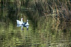 Jonge ganzen die op een vijver zwemmen royalty-vrije stock foto