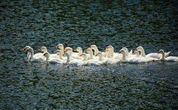 Jonge ganzen die op meer zwemmen stock foto