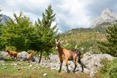 Jonge geit en zijn troep van het weiden op de helling Stock Fotografie