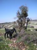 Jonge Geit in Libanon Royalty-vrije Stock Afbeelding