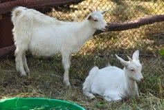 Jonge geiten in een landbouwbedrijf royalty-vrije stock afbeeldingen
