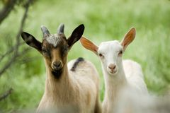 Jonge geitjes Royalty-vrije Stock Foto