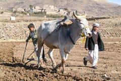 Jonge geitjes die het gebied met een koe ploegen dichtbij Manakhah Stock Foto's