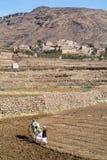 Jonge geitjes die het gebied met een koe ploegen dichtbij Manakhah op Yemen Stock Afbeeldingen