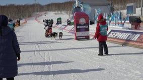Jonge geitjescompetities de Hondslee die van Kamchatka Dyulin Beringia rennen stock video