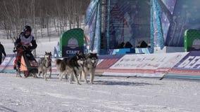Jonge geitjescompetities van de de Sleehond van Kamchatka het Ras Dyulin Beringia stock videobeelden