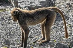 Jonge Gelada-baviaan Stock Afbeeldingen