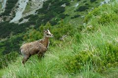 Jonge gemzen in Hoge Tatras stock foto