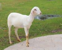 Jonge geschoren schapen in landbouwbedrijf Royalty-vrije Stock Foto's