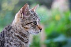 Jonge gestreepte katkat, close-up Stock Fotografie