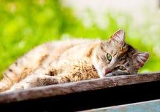 Jonge gestreepte katkat die in de zon zonnebaden Stock Afbeeldingen