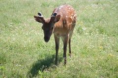 Jonge gevlekte herten royalty-vrije stock foto