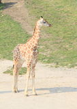 Jonge giraf Royalty-vrije Stock Afbeelding