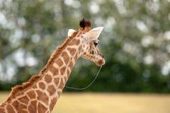 Jonge Giraf Stock Fotografie