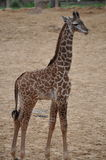 Jonge Giraf Stock Afbeeldingen