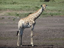 Jonge Giraf Stock Foto