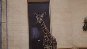 Jonge giraf in de dierentuin Binnen alleen gesloten stock videobeelden