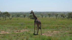 Jonge Giraf die op Savannah With Thickets Of Bushes en Doornen in Afrika lopen stock video